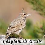 Cekulainais cīrulis /Galerida cristata/.