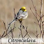 Citroncielava /Motacilla citreola/.
