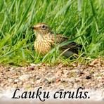 Lauku cīrulis /Alauda arvensis/.