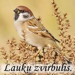 Lauku zvirbulis /Passer montanus/.