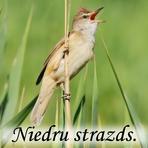 Niedru strazds /Acrocephalus arundinaceus/.