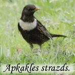 Apkakles strazds /Turdus torquatus/.
