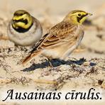 Ausainais cīrulis /Eremophila alpestris/.