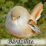 Bārdzīlīte /Panurus biarmicus/.