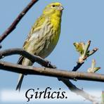 Ģirlicis /Serinus serinus/.