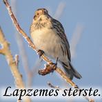 Lapzemes stērste /Calcarius lapponicus/.