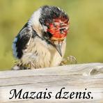 Mazais dzenis /Dendrocopos minor/.