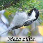 Meža zīlīte /Periparus ater/.
