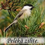 Pelēkā zīlīte /Poecile montanus/.