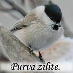Purva zīlīte /Parus palustris/.