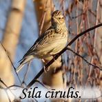 Sila cīrulis /Lullula arborea/.