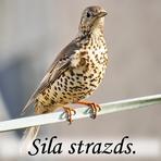 Sila strazds /Turdus viscivorus/.