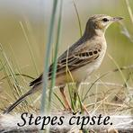 Stepes čipste/Anthus campestris/.