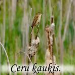 Ceru ķauķis /Acrocephalus schoenobaenus/.
