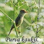 Purva ķauķis /Acrocephalus palustris/.