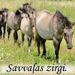Savvaļas zirgi.