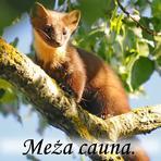 Meža cauna /Martes martes/.