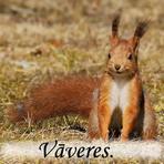 Vāvere /Sciurus vulgaris/.