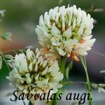 Savvaļas augi, ziedi.