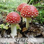 Sēnes. /Fungi/. Sugas noteiktas sadarbībā ar www.senes.lv