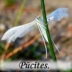 Pūcītes /Noctuidae/.