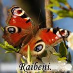Raibeņi /Nympahalidae/.