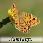 Samteņi /Satyridae/.
