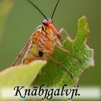 Knābjgalvji /Mecoptera/.