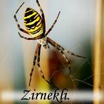 Zirnekļi /Araneae/.