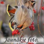 Jaunākie putnu foto.