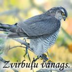 Zvirbuļu vanags /Accipiter nisus/.