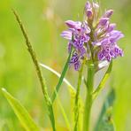 Savvaļas orhideja.