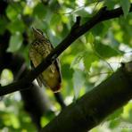 Erickiņš /jaunais putns/.