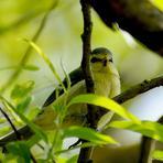 Zilzīlīte /Jaunais putns/.