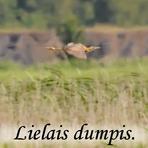 Lielais dumpis /Botaurus stellaris/.