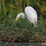 Lielais baltais gārnis.