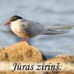 Jūras zīriņš /Sterna paradisaea/.