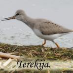 Terekija /Xenus cinereus/.