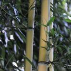 Bambuss.