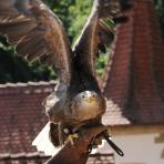 Burg Guttenberg.  Greifvögel.