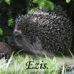 Ezis /Erinaceidae/