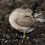 Lielais šņibītis-jaunais putns.
