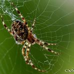Eiropas dārzu zirneklis.