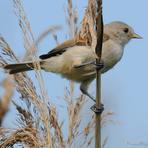 Somzīlīte (jaunais putns).